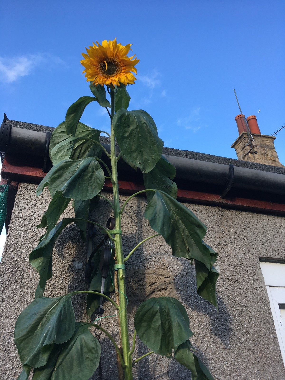 Tall sunflower against a bright blue sky