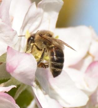 Des nouvelles des abeilles…