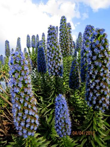 The true blue at Amarandos garden