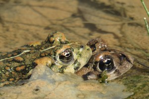 Two Amargosa toads mating in ponds near Beatty, Nevada.