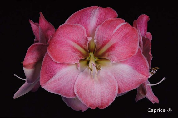 Amaryllis Caprice close