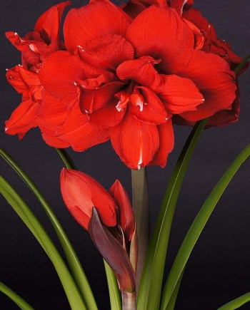 Amaryllis Double King