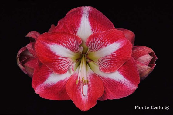 Monte Carlo Amaryllis close