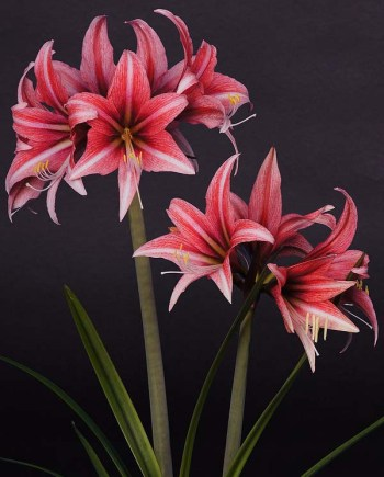 Amaryllis Sweet Lillian