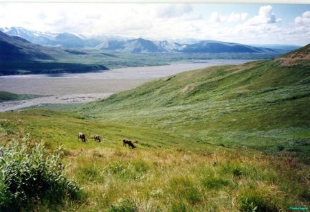 An extensive view of mountains across a wide river valley In the foreground a number of caribou graze, habituated to the passage of humans