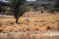 bustard-ethiopia
