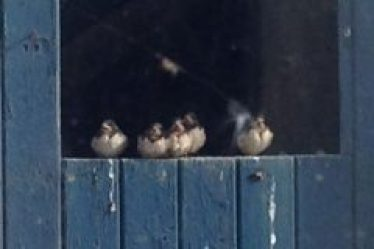 Young swallows perching on an open window
