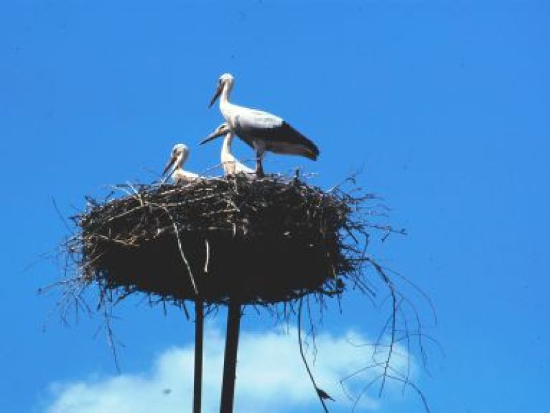 Adult and two young storks on a large masss of sticks they return to every year