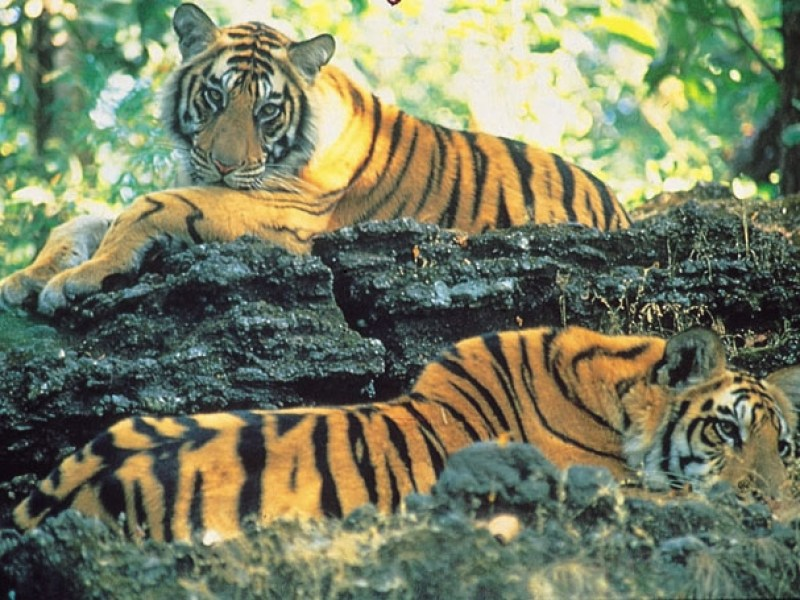 Two young tigers lie head to tail, one above the other on a rock