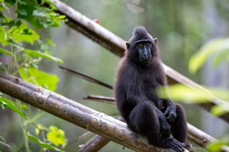 2-tangkoko-1-sulawesi-black-macaques