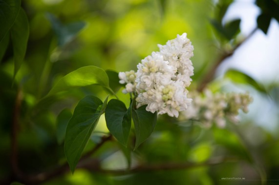 A close up photo of white lilac flowers with slightly blurred fresh green leaves in the background.