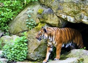 ilustrace tygr rok jinak
