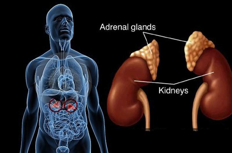 Kelenjar adrenal menghasilkan hormon yang membantu mengatur metabolisme, sistem kekebalan tubuh, tekanan darah, respons terhadap stres.