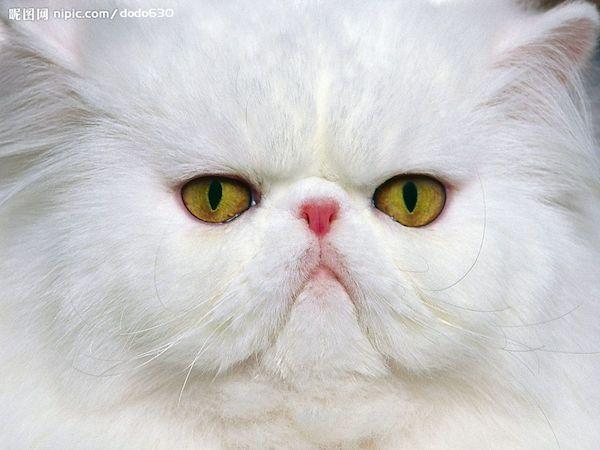 kucing persia lucu