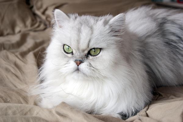 Memelihara Kucing Persia 9 Tips Menyisir Bulu Kucing Persia