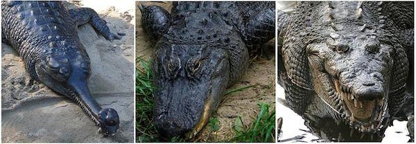 buaya vs alligator