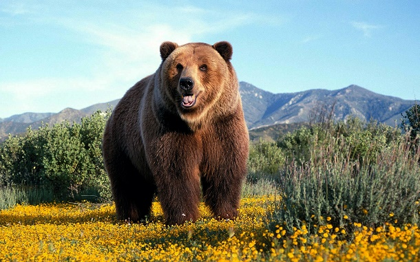 Beruang Grizzly