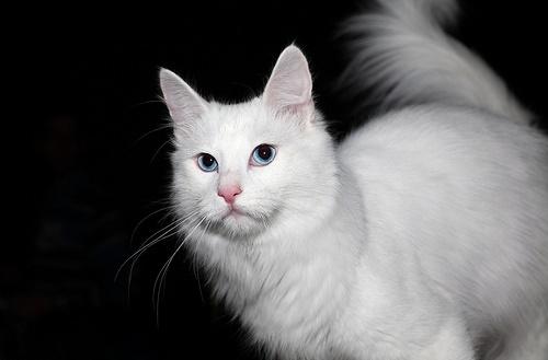 Kucing Angora Turki_1