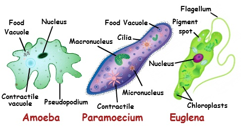 Apa Perbedaan Organisme Uniseluler & Multiseluler?