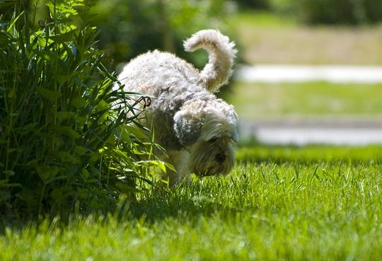Urin Anjing