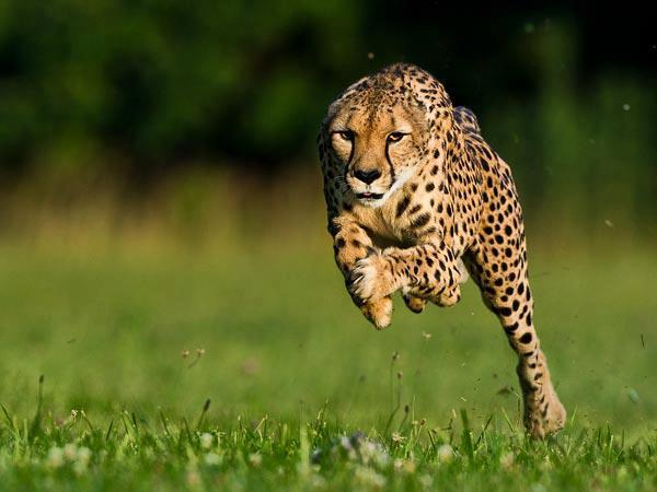 24++ Hewan cheetah adalah terbaru