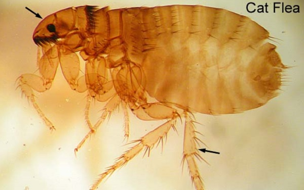 Ctenocephalides felis-kutu kucing