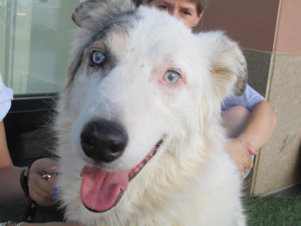 Az Australian Collie Rescue Shepherd Border
