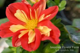 Dahlia Starsisters Scarlet & Yellow