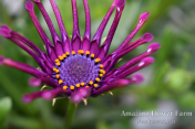 Osteospermum Spider Purple