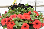 Hell's Bells, black magic hanging basket