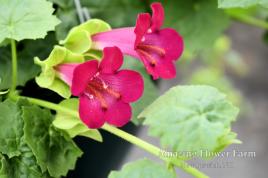 Lofos compact rose hanging basket closeup