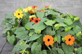 Thunbergia orange wonder, lemon star, sunny susie brownie