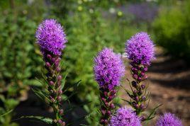 Liatris (w- bumblebee)