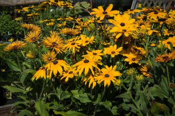 Rudbeckias (in pots)