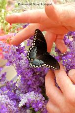 butterfly-susan-lindquist