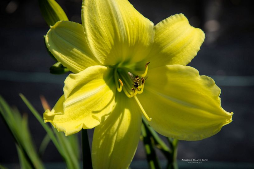 daylily-hudson-valley-Pollinator (honeybee mimic)-5779