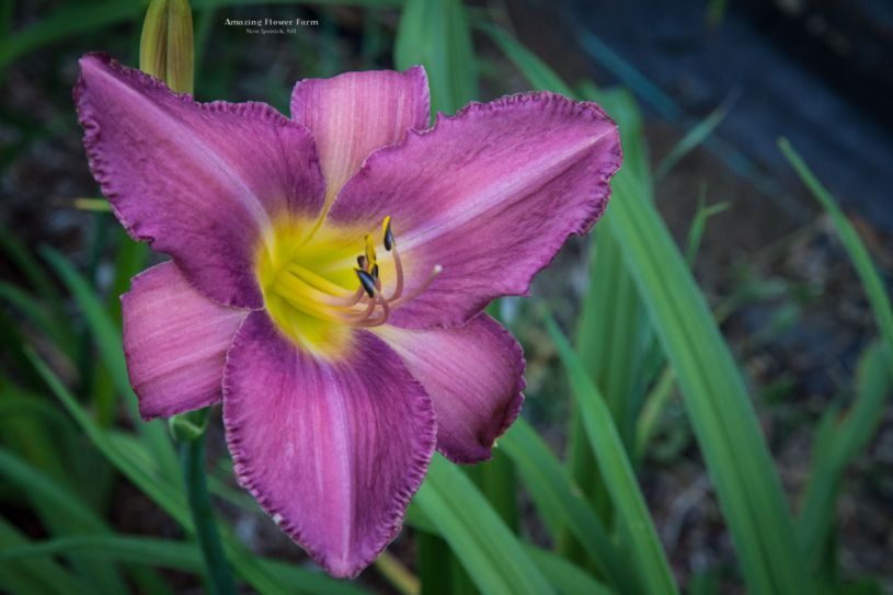 daylily-prairie Blue Eyes - 2-5813