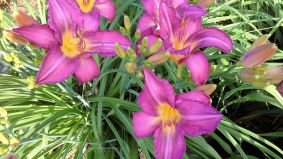 daylily-prairie-blue-eyes2