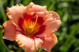 daylily-strawberry Candy-5789