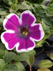 Petunia Hippy Chick Violet