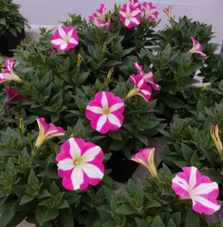 Petunia Crazytunia Pink Frills