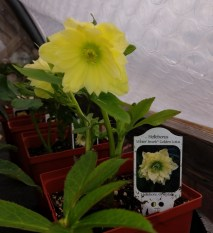 Hellebore Winter Jewels Golden Lotus