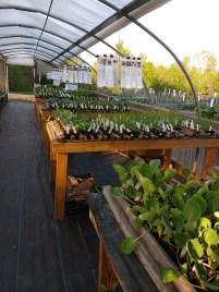 Brassicas & Lettuces, etc