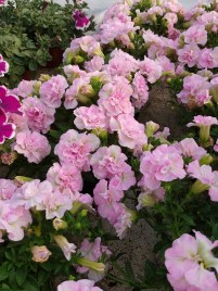 Sweet Sunshine Lt Pink