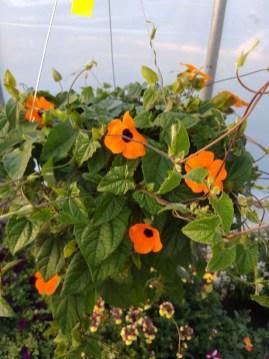 Thunbergia Orange Wonder