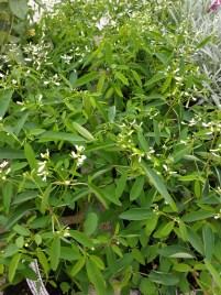 Euphorbia Glamour