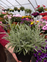 Helichrysum Silver Ribbons