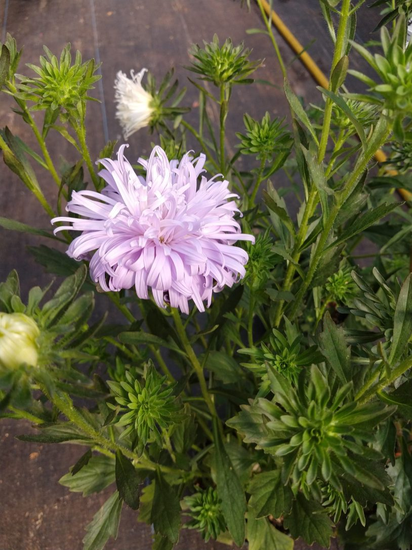 Aster Early Ostrich Plume great for cutting