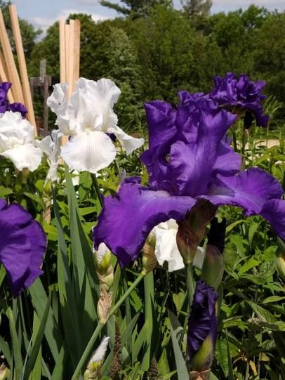 Reblooming Irises Immortality & Speeding Again