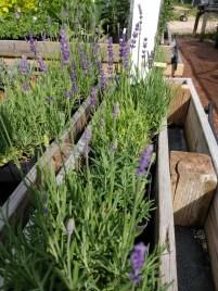 Lavender Big Time Blue